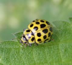 22 spot ladybird naturespot