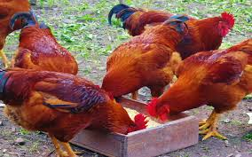 kenbro chicken kienyeji chicken farming