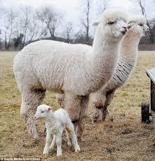 Alpaca Sheep Meme - alpacas brought in to watch over flock of newborn lambs and