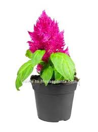 Summer Flowers For Garden - best 25 celosia flower ideas on pinterest modern floral
