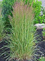 calamagrostis archives the obsessive neurotic gardener