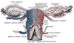Anatomy Of The Female Reproductive System Pictures The Female Reproductive System Boundless Anatomy And Physiology