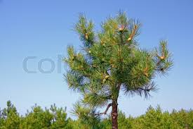 a top of small pine tree with green cones on the background