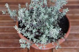 erba cipollina in vaso erba cipollina timo e salvia in vaso d autunno pollicegreen