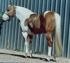 equusite com coat colors and patterns palomino tobiano paint