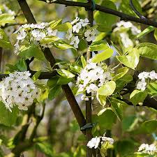 pyrus cal chanticleer pleached ornamental pear pleached