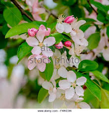 Profusion Flowering Crabapple - flowering crabapple stock photos u0026 flowering crabapple stock