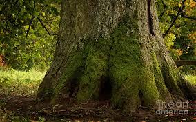 thick tree trunk photograph by jolanta meskauskiene
