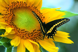 sunflower butterfly by randy66 on deviantart