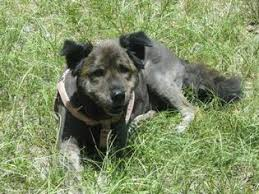 australian shepherd lab mix puppy view ad australian shepherd lab chow mix mix dog for adoption