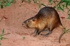 Nutria rat toll free 1 855 787 9453 or 918 367 9060 oklahoma