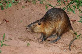 Oklahoma wild animals images Nutria rat toll free 1 855 787 9453 or 918 367 9060 oklahoma jpg