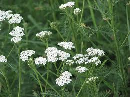 native american medicinal plants 8 grassland medicinal plants you can use