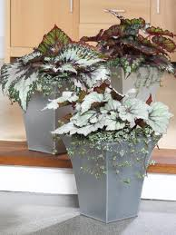 how to grow begonias hgtv