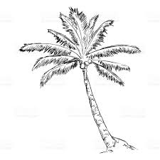 vector single sketch palm tree stock vector art 488013344 istock