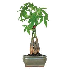 who wouldn t want a money tree bonsai outlet