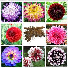mixed 8 types of dahlia perennial flowers 50 seeds strong