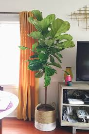 pruning propagating fiddle leaf fig plants astral riles