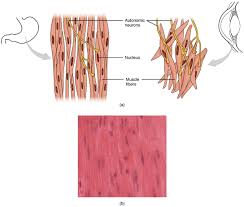 smooth muscle development diagram articles physiological reviews