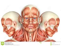 3d Head Anatomy 3d Male Face Muscles Anatomy With Side Views Stock Illustration