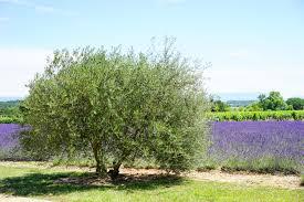 Fragrant Olive Plant Free Images Nature Purple Aroma Idyllic Green Herb Produce
