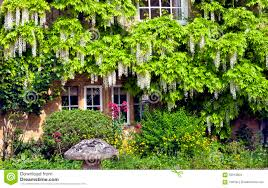 english cottage with white wisteria climbing wall stock photo