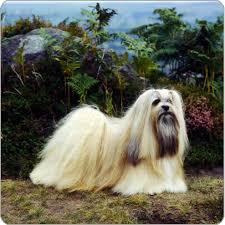 lhasa apso dog breeds purina australia