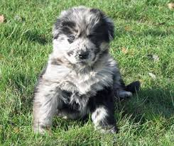 australian shepherd cattle dog mix 143 best dogs images on pinterest animals australian shepherd
