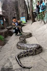 boy and python lived together for 12 years sgforums