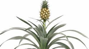 nasa pineapple plant can stop snoring news telesur
