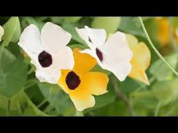 Climbing Plants That Flower All Year - climbing plants youtube