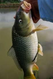 cara membuat umpan mancing ikan mas harian membuat umpan ikan mas murah meriah mancing mania soroako