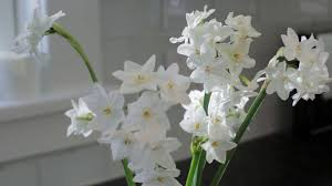 paperwhite flowers inbal paperwhite narcissus american