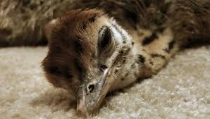 baby ostrich slowly falls asleep so cute youtube