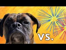 boxer dog noises brock the boxer dog vs fireworks youtube