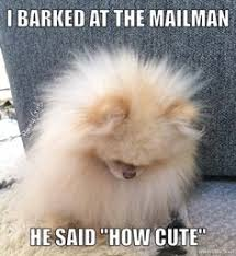 Pomeranian Meme - if you instagram anything it better be adorable dog