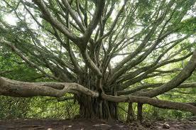 banyan tree in huy n flickr