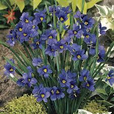 lucerne blue eyed grass from wayside gardens