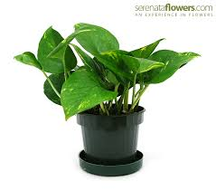 good low light plants 7 low light plants for any room pollen nation