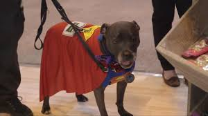 boxer dog crufts 2014 crufts 2017 watch the weekend round up of day two and three of