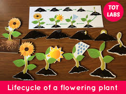 Life Cycle Of A Flowering Plant - life cycle of a flowering plant wooden cut outs of different