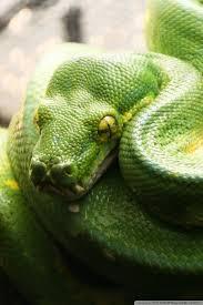 a green snake wallpapers snake 4k hd desktop wallpaper for 4k ultra hd tv u2022 dual monitor