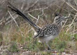 New Mexico birds images Desert birds in new mexico cheyenne bird banter jpg