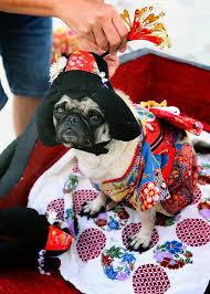 Halloween Costumes Husky Dog Husky Dog Impressed Owners U0027 Halloween Fake