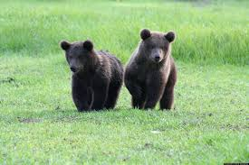 belgian shepherd south africa booboo the grizzly bear cub escapes from his florida home update