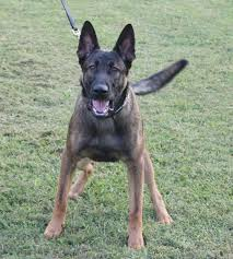 lifespan of belgian shepherd camelot german shepherds camelot german shepherds german