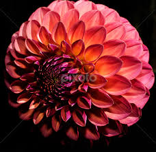 low light flowers blushing dahlia single flower flowers pixoto