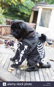 Dog Skeleton Halloween London Uk 25th October 2015 Pug Odin 7 Years With A Skeleton