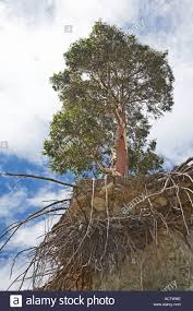 eucalyptus tree with eroded roots on an morgans island in lake
