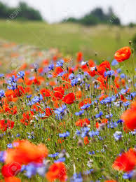 wild flowers in wild meadows wild meadow with red poppies and blue cornflowers stock photo